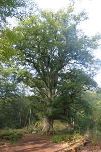 Eiche im Reinhardswald Urwald