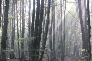 Morgensonne im Reinhardswald Urwald