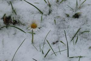 Gänseblümchen im Winter
