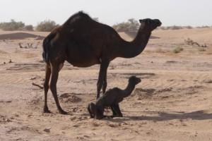 Wüste Kamelbaby