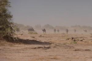 Wüste Kamelherde