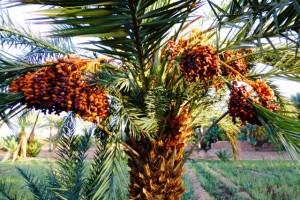Tausende Dattelpalmen wachsen in der Oase entlang des Draa