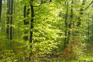 Maiengrüner Buchenwald im Sonnenschein - eine Wohltat für die Sinne