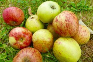 Lecker sind die Äpfel. Wir haben Unmengen davon gegessen und zu Chutney, Mus, Kompott und Apfelstrudel verarbeitet. 350 kg landeten in der Saftpresse.