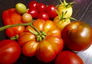Alle sind sie im Freiland aufgewachsen: gelbe, grüne, schwarze, orange und rote Tomaten